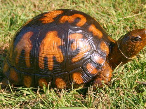 Bronze Box Turtle (Small)