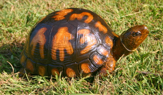 Bronze Box Turtle (Small)