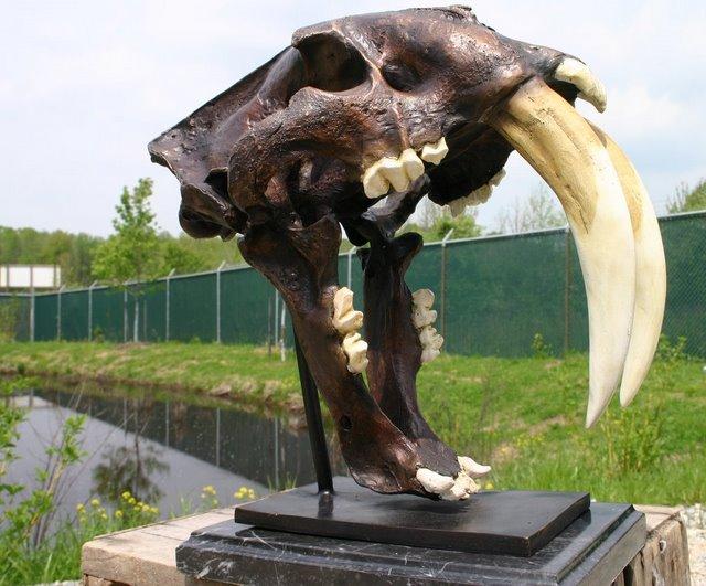 Saber Toothed Tiger Skull Fossil Casting